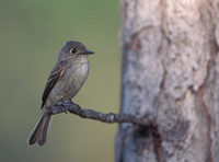 Cuban (Greater Antillean) Pewee (Contopus caribaeus) photo