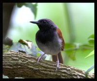 White-bellied Antbird - Myrmeciza longipes