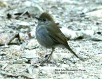 Black-billed Nightingale-Thrush - Catharus gracilirostris