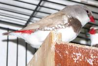 Fawn Diamond Firetail