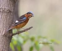 White-throated rock thrush C20D 03770.jpg
