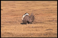 : Centrocercus urophasianus; Sage Grouse