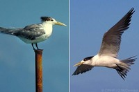 'Sterna bergii' Crested Tern, Swift Tern, Great Crested Tern;