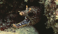 Enchelycore pardalis, Leopard moray eel: fisheries, aquarium
