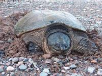 Image of: Chelydra serpentina (snapping turtle)