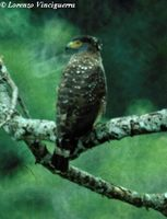 Philippine Serpent Eagle - Spilornis holospilus
