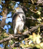 Little Sparrowhawk - Accipiter minullus