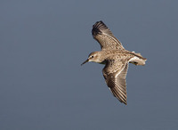 Least Sandpiper (Calidris minutilla) photo
