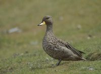 Speckled Teal (Anas flavirostris) photo