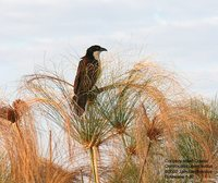 Coppery-tailed Coucal - Centropus cupreicaudus