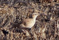 Eastern Long-billed Lark - Certhilauda semitorquata