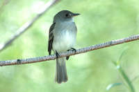 : Empidonax traillii; Willow Flycatcher