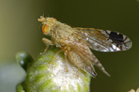 : Trupanea californica; Fruit Fly