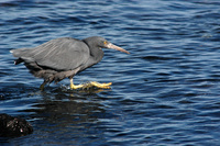 흑로 (Pacific Reef Heron)