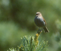 Japanese Accentor (Prunella rubida) photo