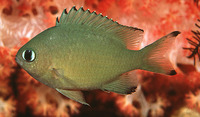 Chromis lepidolepis, Scaly chromis:
