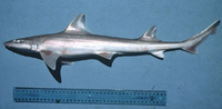 Mustelus manazo, Starspotted smooth-hound: fisheries, gamefish