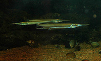 Xenentodon cancila, Freshwater garfish: fisheries, aquarium