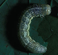 Image of: Lithophane antennata (green fruitworm)