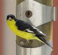 Image of: Carduelis psaltria (lesser goldfinch)