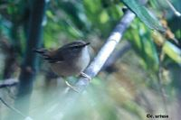 Yellowish-bellied Bush Warbler - Cettia acanthizoides