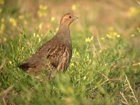 Gray Partridge - Perdix perdix