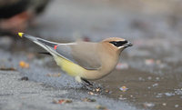Cedar Waxwing (Bombycilla cedrorum) photo