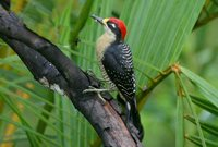 Black-cheeked Woodpecker - Melanerpes pucherani