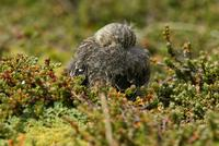 *NEW* Yellow-bridled Finch - chick (asleep)