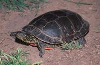 : Chrysemys picta bellii; Western Painted Turtle