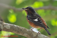 White-throated Rock Thrush ( Monticola gularis )