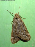 Alsophila aescularia - March Moth