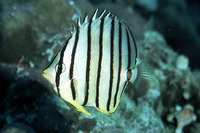 Chaetodon octofasciatus, Eightband butterflyfish: aquarium