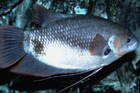 Osphronemus laticlavius, Giant red tail gourami: