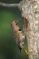 Northern Flicker (Colaptes auratus) photo