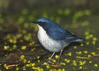 Siberian Blue Robin (Luscinia cyane) photo