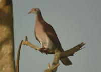 Pale-vented Pigeon & on to Selva Verde Lodge