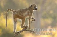 yellow baboon standing on branch stock photo