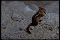 : Spermophilus lateralis; Golden-mantled Ground Squirrel