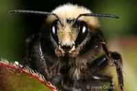 : Bombus vosnesenskii; Yellow-faced Bumblebee