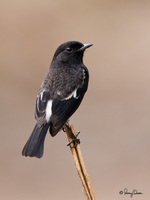 Pied Bushchat(Male) Scientific name - Saxicola caprata