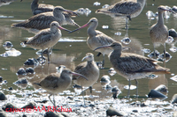 Bar-tailed Godwit ( Limosa lapponica )