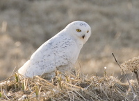 Snowy Owl. Photo by Dave Kutilek. All rights reserved.