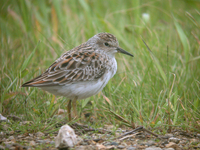 종달도요 Calidris minutilla | long-toed stint