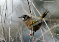 キンバネガビチョウ Black-faced Laughingthrush Garrulax affinis