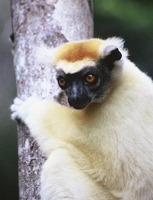photograph of a Verreaux's sifaka (Propithecus verreauxi)