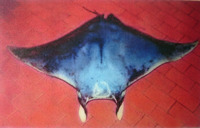 Mobula hypostoma, Lesser devil ray: fisheries