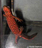 Cynops pyrrhogaster - Japanese Fire Belly Newt