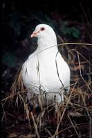 Columba livia - Rock Dove