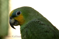 Amazona amazonica - Orange-winged Parrot
